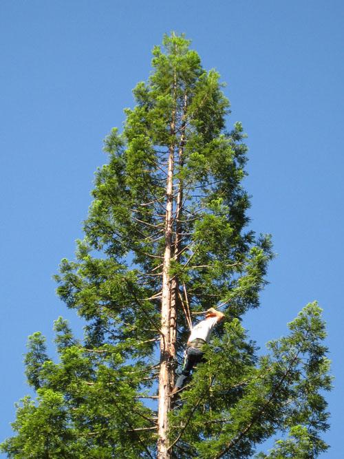 セコイア(sequoia)