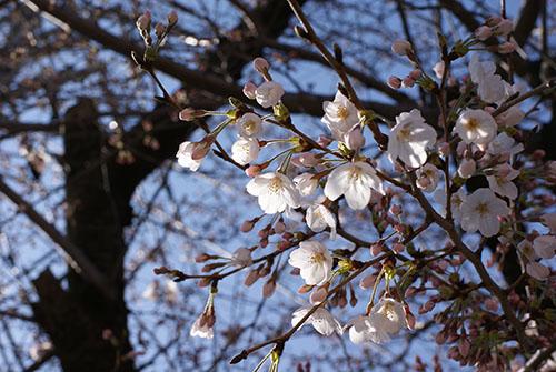 今日の桜@砂押川